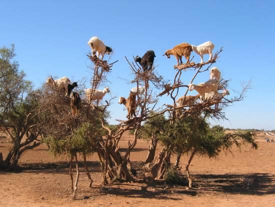 photo insolite - Page 3 Reservesavane-arbre-insolite-chevres-route-